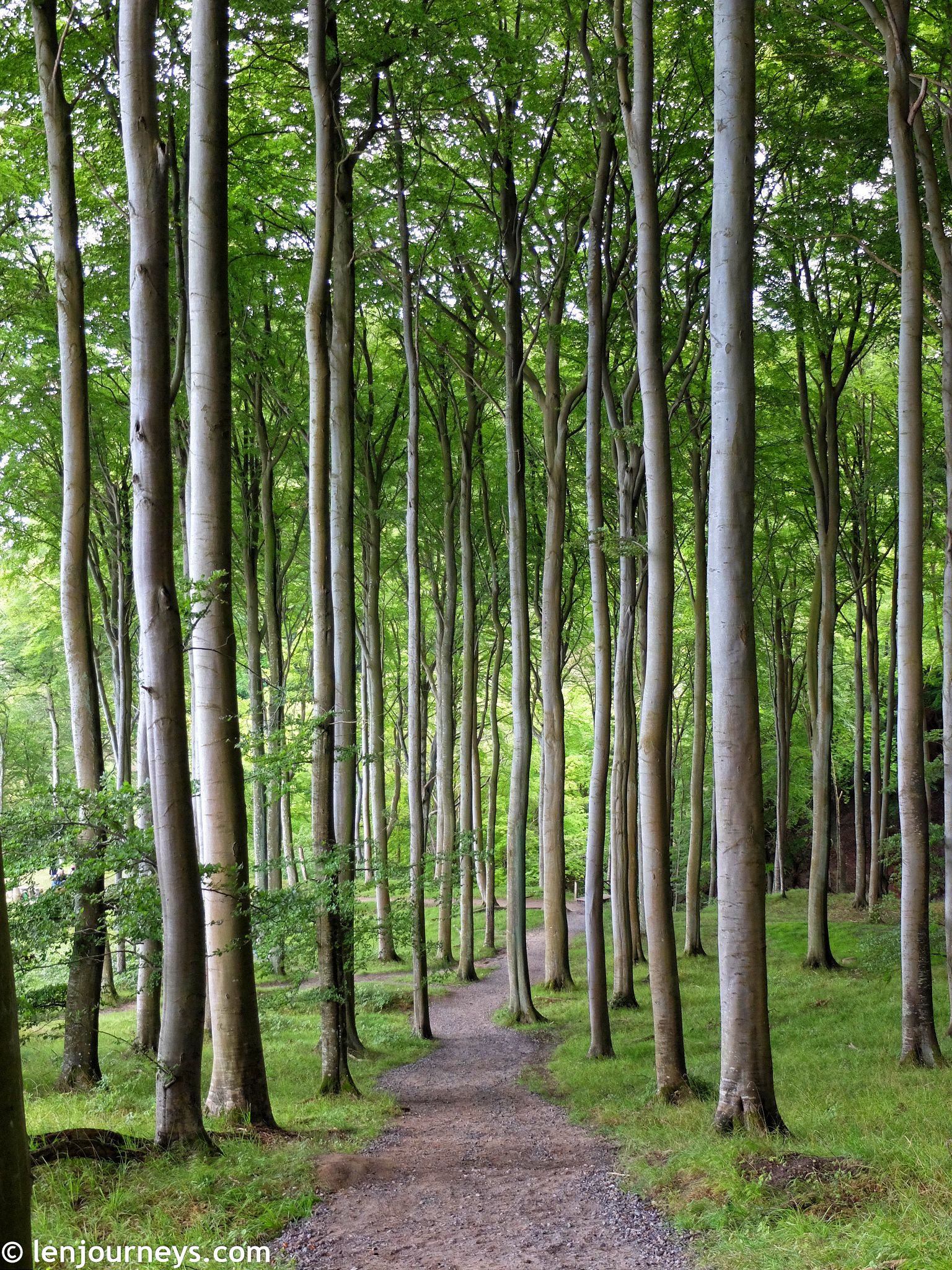 The beech forest in Jasmund National Park