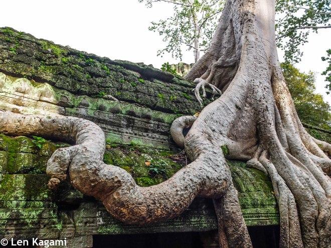 Twisted trunk at Ta Prohm
