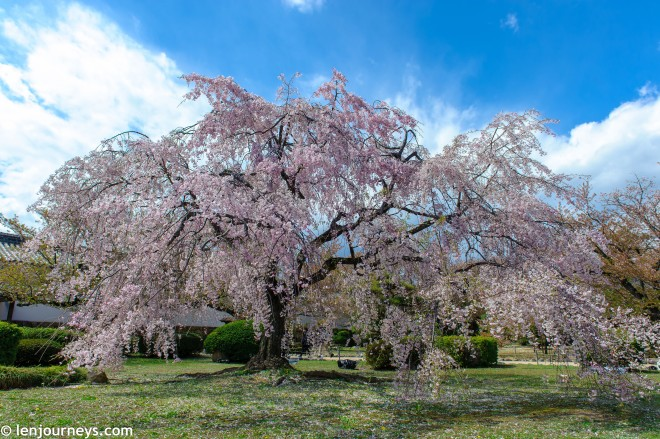 Cherry blossom tree in Himeji
