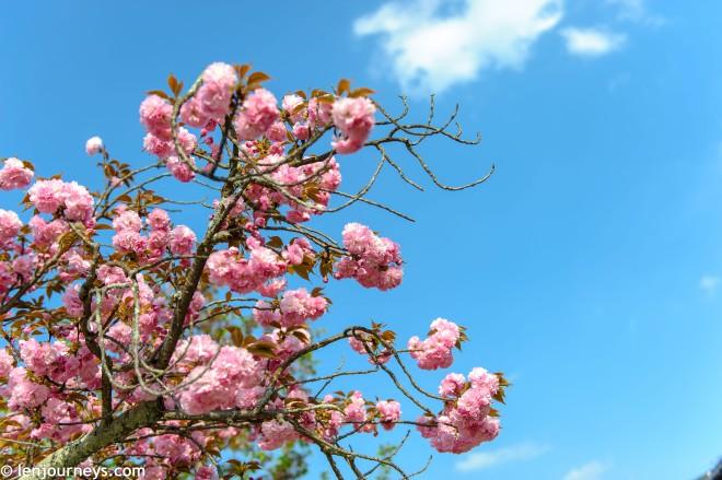 Sakura in Miyajima
