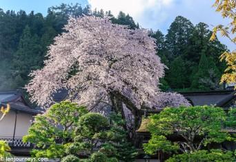 Cherry blossom tree in Koyasan