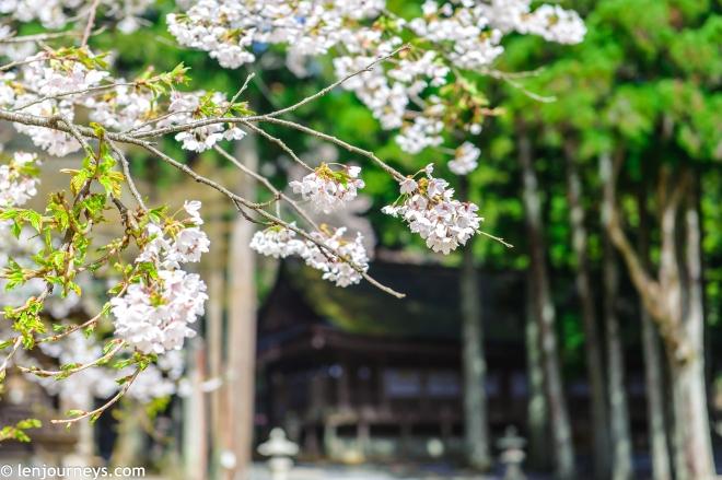 Pure white sakura in Koyasan