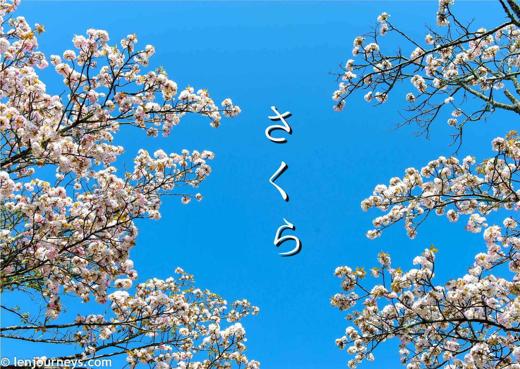 Sakura in Nara